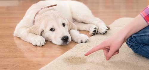 7 lời khuyên quý giá giúp chó không còn đi vệ sinh bừa bãi nữa
