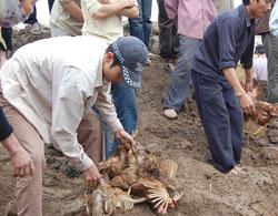 Đình chỉ công tác Chủ tịch xã trong vụ dân cướp gà tiêu hủy