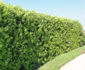 Cây Tùng La Hán trồng hàng rào