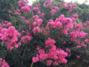 Dịu dàng hương sắc hoa tường vi mùa hạ
