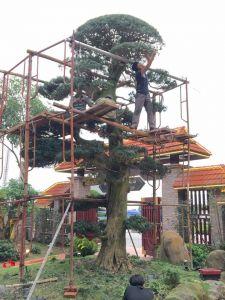 Dịch vụ sửa cây và tạo thế cây cảnh