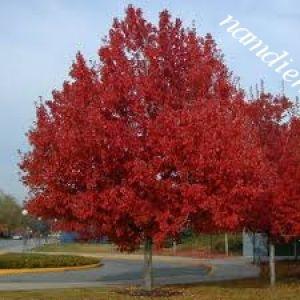 Vẻ Đẹp của cây phong lá đỏ đối với cảnh quan