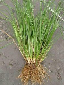 Công dụng và lợi ích của cỏ Vetiver