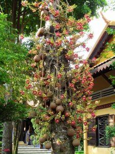 Cây Sala (Cây Ngọc Kỳ Lân)
