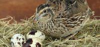 Làm trang trại nuôi chim cút cần chuẩn bị gì?