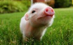 Lợn BNC MS02