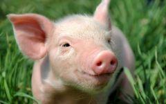 Lợn BNC MS05
