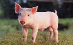 Lợn BNC MS03