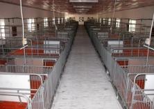 Mô hình trại chăn nuôi heo nái đẻ công nghiệp