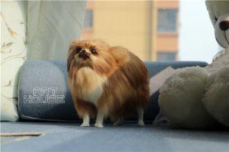 Mô hình chó Pomeranian