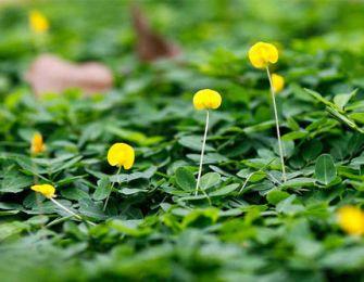 Trang trí cảnh quan biệt thự vườn, nhà phố bằng cỏ Hoàng Lạc (Cỏ đậu)