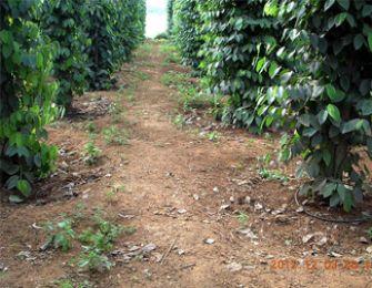 Giải pháp cứu vườn tiêu trong mùa khô ở huyện Bù Đốp