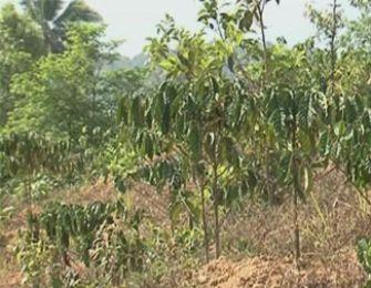 Tưới nhỏ giọt tiết kiệm nước cho cây cà phê tại Khánh Sơn – Khánh hòa