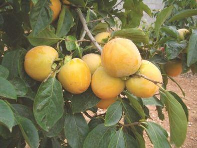 Quyết định ban hành quy trình kỹ thuật tạm thời đối với cây Hồng giòn, cây Tam thất bắc, rau Bò khai, rau Pắc nam trên địa bàn tỉnh Lào Cai