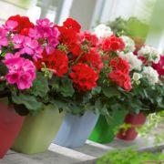 Những loại hoa leo, hoa treo đẹp khiến ai nhìn cũng phải mê