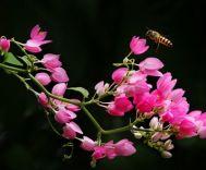 Hoa tigon