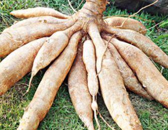 Processing of cassava feed