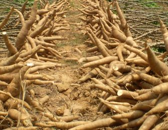 Cassava starch processing