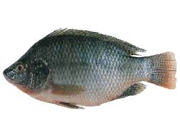 TILAPIA FISH FEED