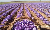 Điều gì khiến saffron trở nên đặc biệt trong y học?