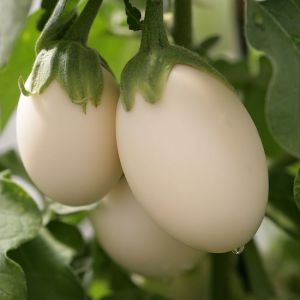 Hạt giống cà pháo trứng trắng