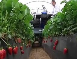 Máy thu hoạch dâu tây