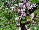 Điện Biên sẽ kích thích hoa ban nở đúng dịp lễ hội