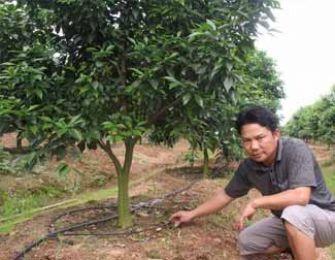 Hiệu quả từ mô hình tưới nước nhỏ giọt trên cây cam Đường Canh