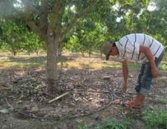 Tưới nước cho cây xoài theo công nghệ nhỏ giọt tiết kiệm