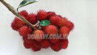 Chôm chôm nhãn Tiền Giang