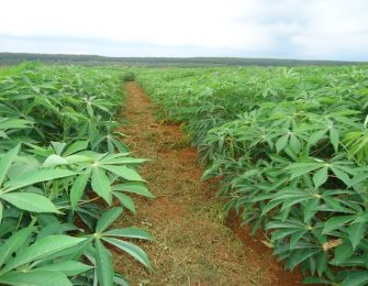 LEARN ABOUT CASSAVA IN FOOD TECHNOLOGY