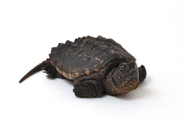 Rùa cá sấu - Common Snapping Turle