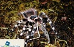 Giới thiệu về thú chơi nhện cảnh Tarantula đang gây sốt trong làng chơi thú cưng Việt