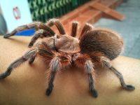 Bò sát cảnh- Cách chăm sóc nhện Tarantula khi lột xác