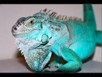 Những ảnh hưởng nghiêm trong tới sức khỏe của bò sát rồng Nam Mỹ Iguana (Phần 1)