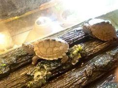 Mẹo chọn mua bò sát rùa cảnh khỏe mạnh