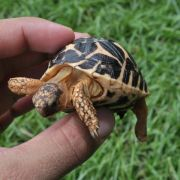 Chăm sóc rùa cảnh: Rùa làm gì khi bị bật ngửa.