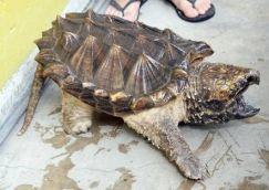 Chăm sóc rùa cảnh: Rùa cá sấu có gì đặc biệt.