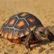 Cách chăm sóc và nuôi chú rùa cảnh an toàn
