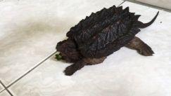 Đặc điểm - cách nuôi rùa cảnh cá sấu đúng cách