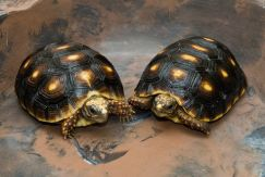 Cách nuôi rùa cảnh khi sinh sản