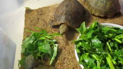 Khi nuôi rùa cảnh lưu ý điều gì về chế độ dinh dưỡng?