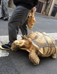 Kinh nghiệm nuôi rùa cảnh Sulcata cho người mới bắt đầu