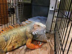 Rồng nam mỹ iguana xanh bị thương đang được cứu chữa tại Florida