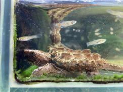 List rùa nước mới về tháng 12/2020 tại Việt Pet Garden