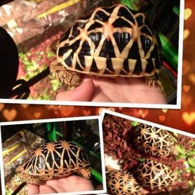 Indian Star Tortoise ( Size 10cm )