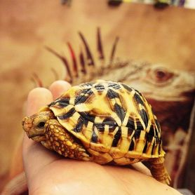 Indiana Star Tortoise