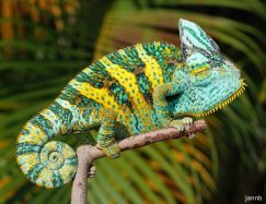 Tắc kè hoa đổi màu veiled chameleon