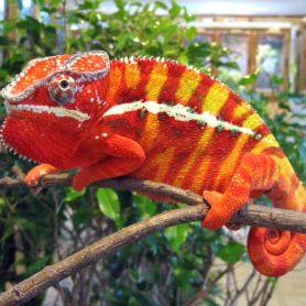 Tắc kè hoa Panther ( panther chameleon )