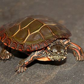 Eastern Painted Turtle 3cm